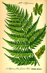 Illustration Athyrium filix-femina0.jpg