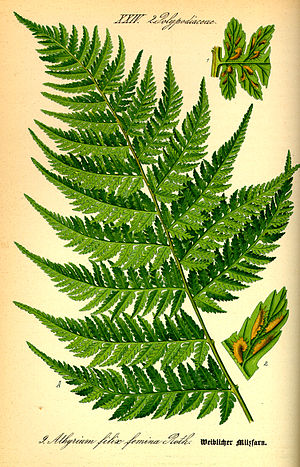Athyrium filix-femina - 19th century illustration