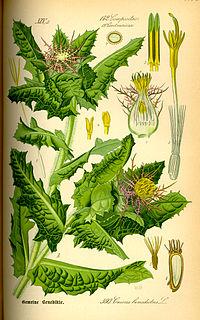 Illustration Cnicus benedictus0