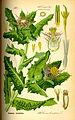 Illustration Cnicus benedictus0.jpg