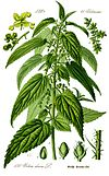 Illustration Urtica dioica0 clean.jpg