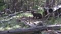 Image5 imnaha pup 2012 odfw (17106501298).jpg