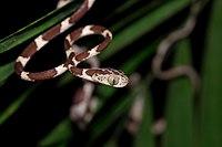 Serpent très fin au corps allongé