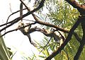 Indian Grey Hornbill (Ocyceros birostris) grappling bills at Nagpur, Maharashtra. (4)..jpg