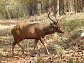 Indian Sambar Deer.jpg