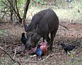 Indian boar scavenging - Yala May 2010.jpg