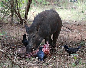 Suidae - Wild boar feeding on carcass