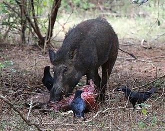 Suidae - Wild boar feeding on carcass