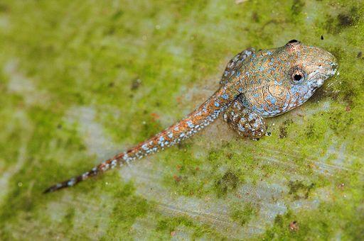 Indirana semipalmata tadpole