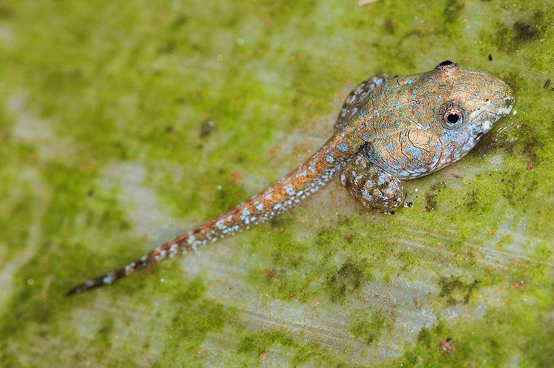 File:Indirana semipalmata tadpole.jpg