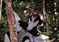 Indri (Indri indri) (7620901836).jpg