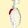 Infraspinatus muscle lateral2.png