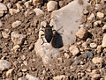 Insect in Guadalupe Mountains National Park.JPG