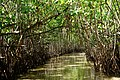 Inside Pichavaram Mangrove Forest.jpg