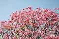Ipê rosa (5846930116) (2).jpg
