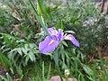 Iris 鳶尾 - panoramio (1).jpg