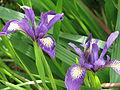 Iris douglasii? (13993407670).jpg