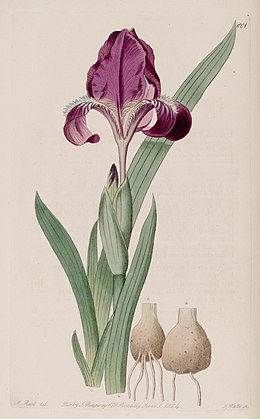 Iris furcata by Sydenham Edwards.jpg