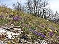 Iris pumila sl34.jpg
