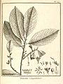 Iroucana guianensis Aublet 1775 pl 127.jpg