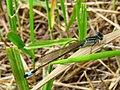 Ischnura elegans Desna2.jpg