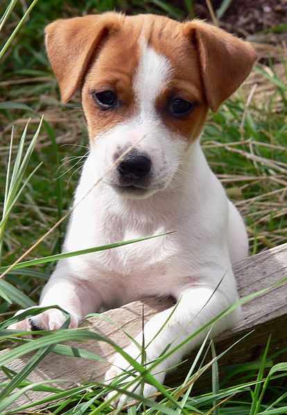 File:JRT Puppy Lola.JPG