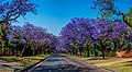 Jacaranda Trees, Becket Street Pretoria.jpg