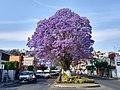 Jacaranda en Avenida Sánchez Piedras de la Ciudad de Tlaxcala 01.jpg