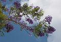 Jacaranda mimosifolia 5327.jpg