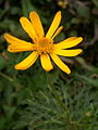 Jacobaea abrotanifolia - Zgornja Krma (2).jpg