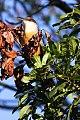 Jamaican Lizard-Cuckoo (Coccyzus vetula) (8082114138).jpg