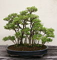 Japanese Boxthorn (Serissa japonica) (3562958141).jpg