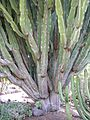 Jardín canario 38.JPG
