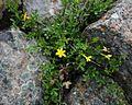 Jasminum fruticans 1.jpg