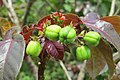 Jatropha gossypiifolia - Bellyache Bush - at Beechanahalli 2014 (3).jpg