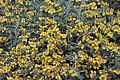 Jerusalem sage Phlomis fruticosa IMG 8574.jpg