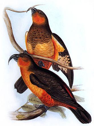 Norfolk kaka - Painting by John Gould