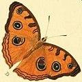 Junonia almana wet season form illustration.jpg
