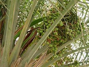 Date palm - Dates