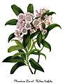 Kalmia latifolia, by Mary Vaux Walcott.jpg