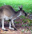 Kangaroo (6207929995).jpg