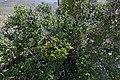 Karoo Num-num (Carissa haematocarpa) (32741666466).jpg
