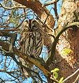 Kattuggla Tawny Owl (14129656552).jpg