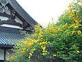 Kerria japonica 002 JPN.jpg