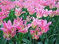 Keukenhof tulipes roses et vertes.JPG