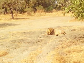 King of jungle - Asiatic Lion2.jpg