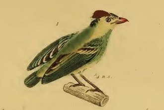 Kinglet calyptura - Pardalotus cristatus illustrated by Georges Cuvier