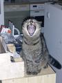 Kitty yawns.png