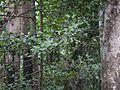 Kokambi (Marathi- कोकंबी) (8902451058).jpg
