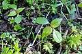 Korina 2017-04-09 Impatiens parviflora 1.jpg